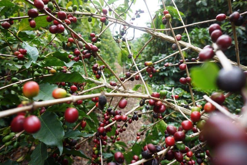 Koffieaanplanting in de landelijke stad van Carmo DE Minas Brazil royalty-vrije stock afbeelding