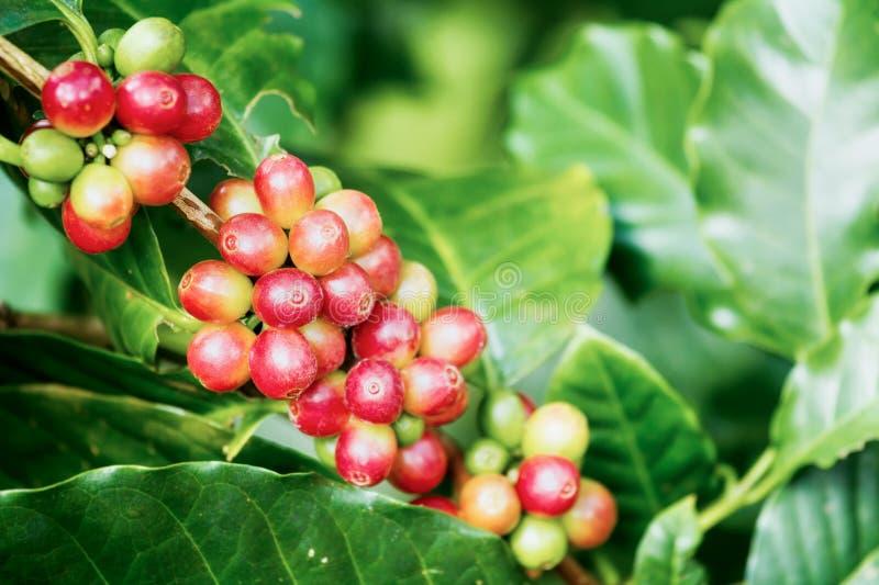 Koffiebessen op zijn boom royalty-vrije stock foto