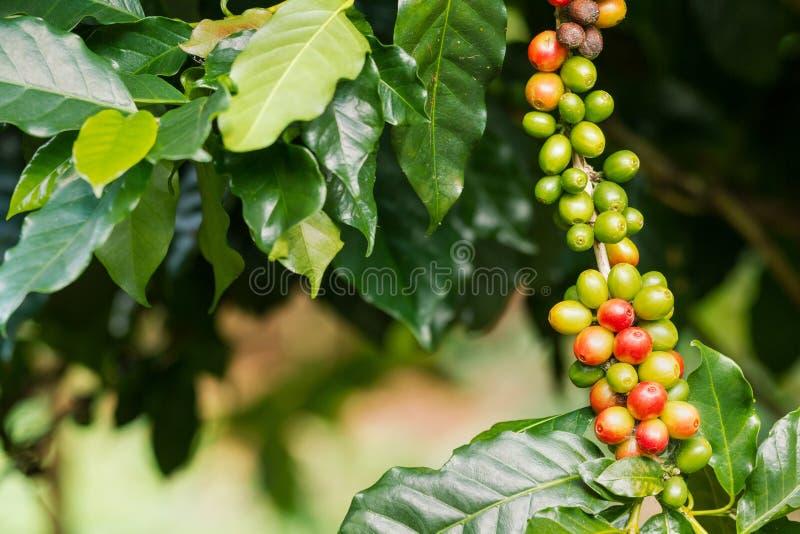 Koffiebessen op zijn boom stock foto's