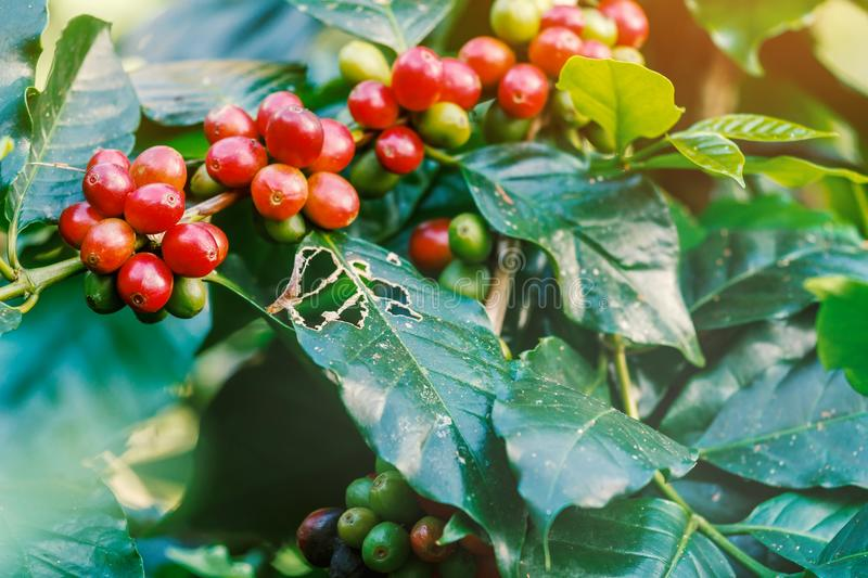 Koffiebessen op zijn boom royalty-vrije stock afbeeldingen