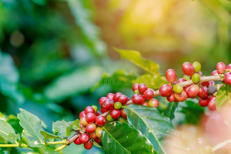 Koffiebessen op zijn boom stock afbeelding