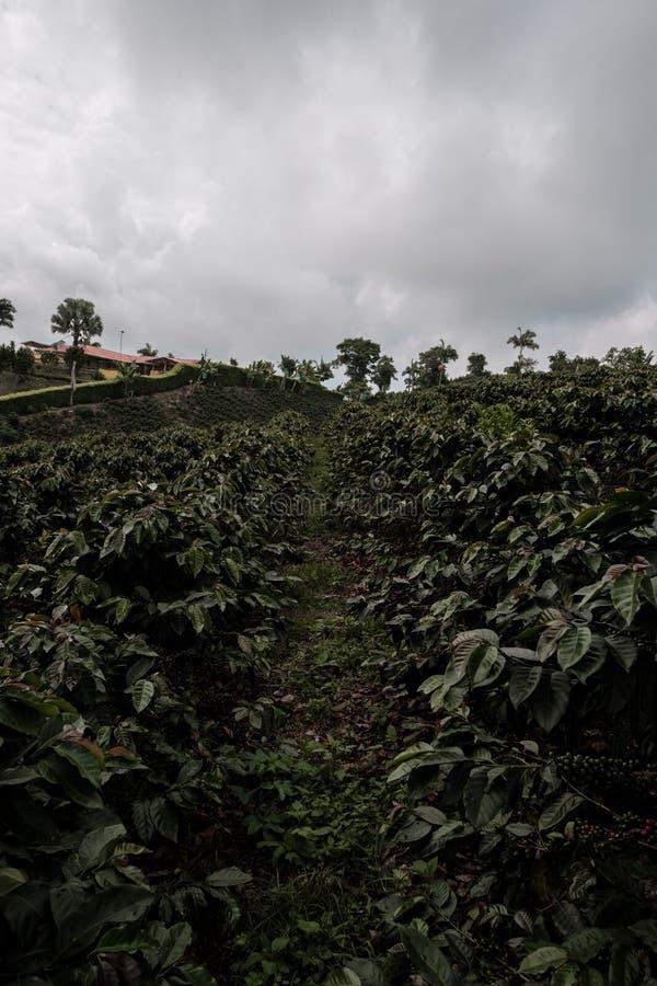 Koffiebomen dichtbij een koffielandbouwbedrijf op een berggebied van het de koffiegebied van Colombia royalty-vrije stock foto's
