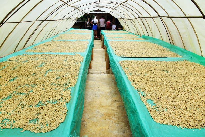 Koffiebonen die in de zon, Quindio, Buenavista drogen royalty-vrije stock foto's