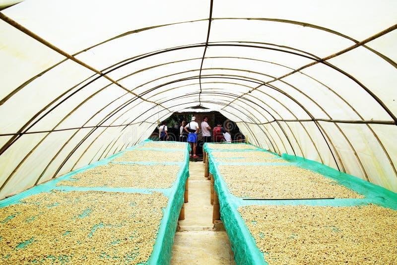 Koffiebonen die in de zon, Quindio, Buenavista drogen stock foto's