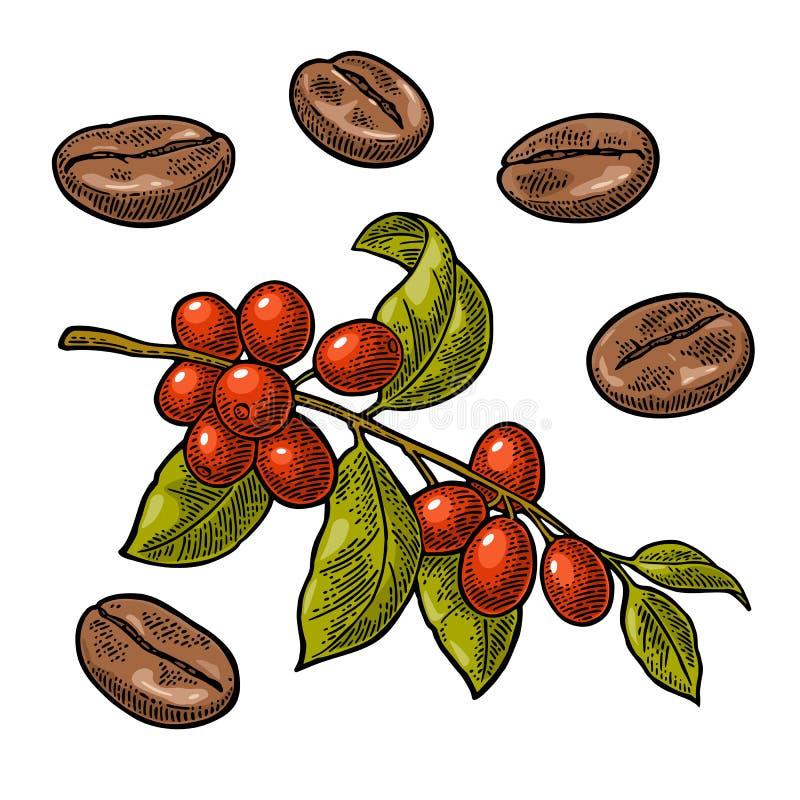 Koffieboon, tak met blad en bes vector illustratie