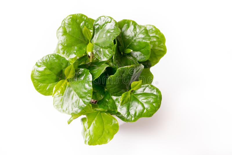 Koffieinstallatie met groene die bladeren op witte achtergrond worden geïsoleerd royalty-vrije stock foto