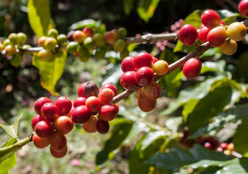 Koffieinstallatie met rode bessen stock foto's