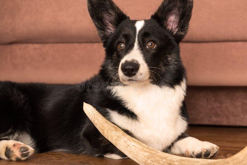 Kofta för Corgi för hundavel walesisk royaltyfria foton