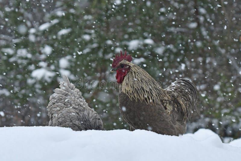 Kogut i kurczaki stary odporny traken Hedemora od Szwecja na śniegu w mroźnym krajobrazie zdjęcia royalty free