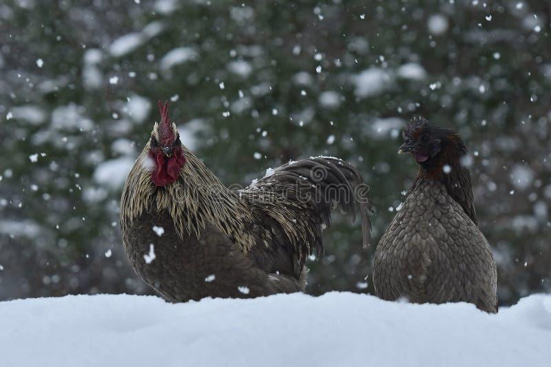 Kogut i kurczaki stary odporny traken Hedemora od Szwecja na śniegu w mroźnym krajobrazie zdjęcie royalty free