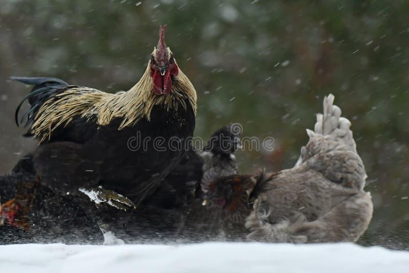 Kogut i kurny spacer na śnieżycy w mroźnym krajobrazie zdjęcia stock