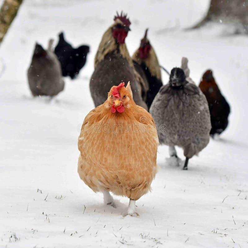 Kogut i kurny spacer na śniegu w mroźnym krajobrazie fotografia stock