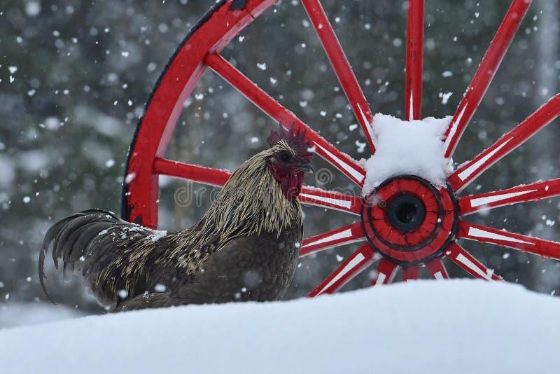 Kogut stary odporny traken Hedemora od Szwecja na śniegu w mroźnym krajobrazie obraz stock