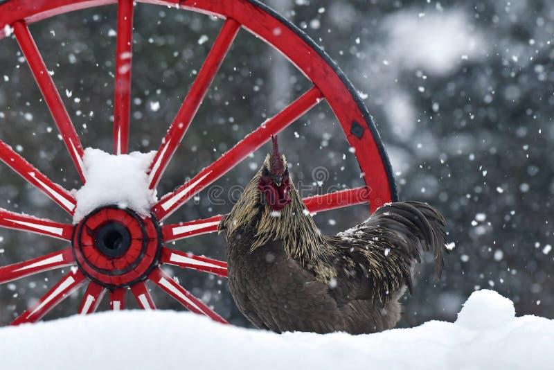 Kogut stary odporny traken Hedemora od Szwecja na śniegu w mroźnym krajobrazie zdjęcie stock