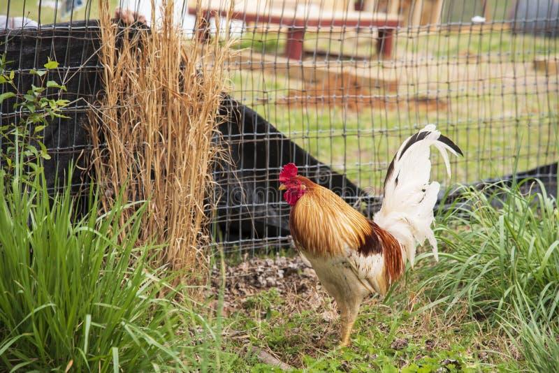 Kogut Kogut w gospodarstwie rolnym obraz royalty free