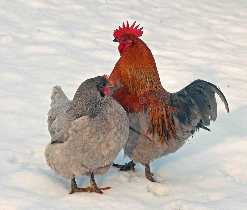 Koguta i karmazynki pozycja w śniegu w mroźnym krajobrazie obrazy royalty free