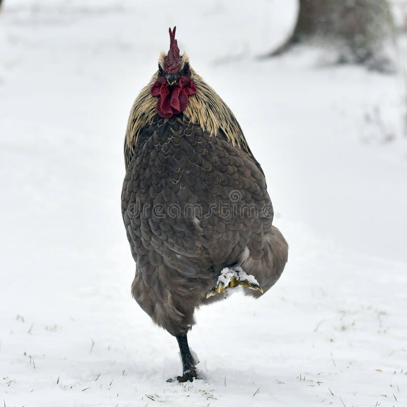 Koguta spacer na śniegu w mroźnym krajobrazie zdjęcie stock