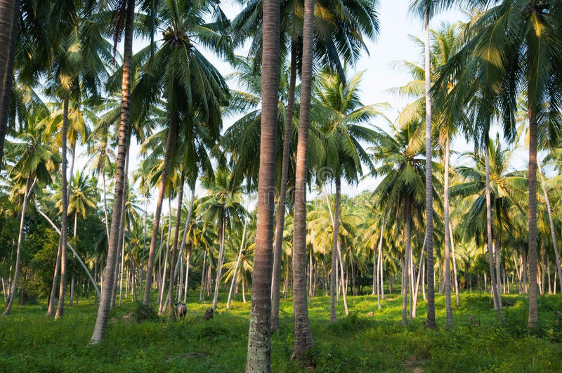 KOH Samui de noix de coco photos libres de droits