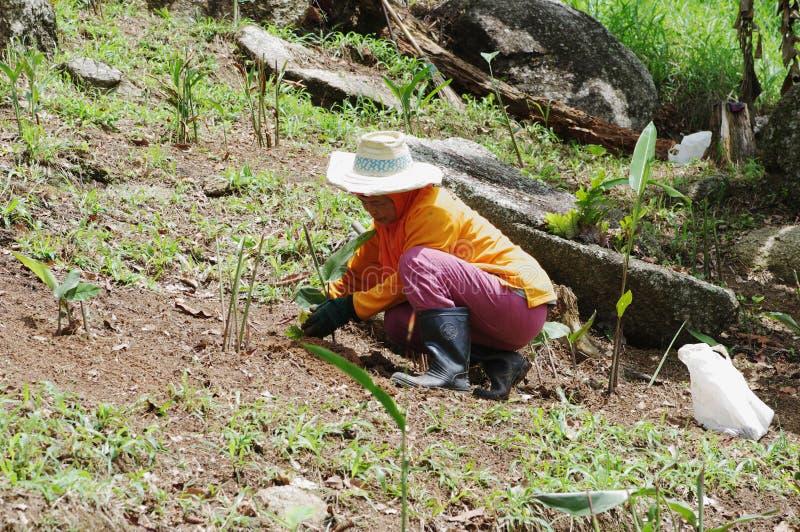 KOH SAMUI, TAILANDIA - 23 OTTOBRE 2013: Il giardiniere della donna lavora in giardino immagini stock libere da diritti