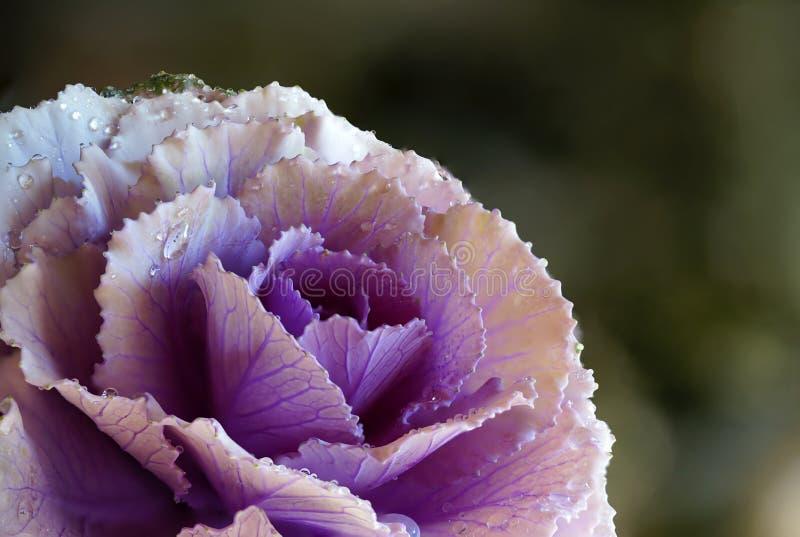 Kohl-Blume mit Wasser-Tropfen-Detail-Makrophotographie stockfotografie