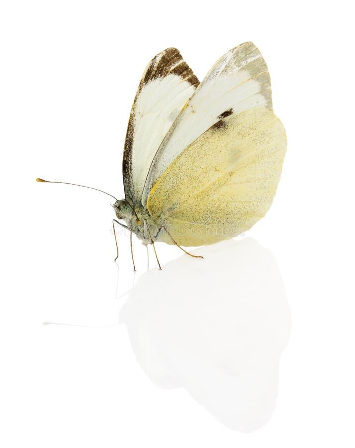 Kohl-Schmetterling lokalisiert auf dem weißen Hintergrund lizenzfreie stockfotografie