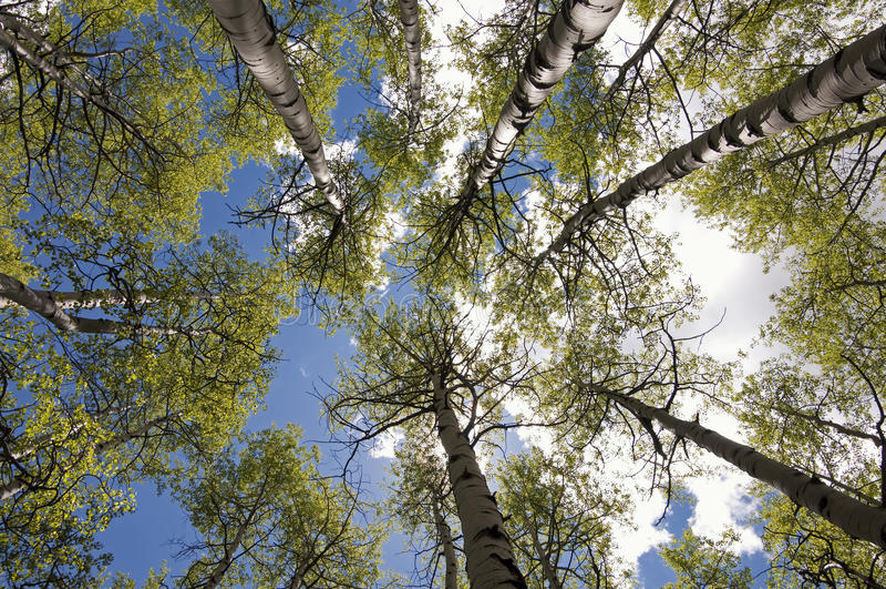 Kohlenstoff-Nebenfluss Aspen Grove lizenzfreie stockbilder