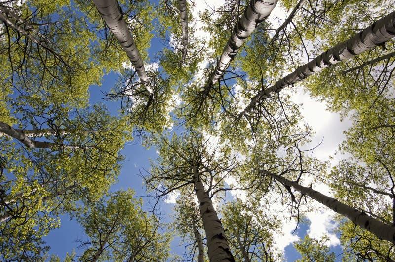 Kohlenstoff-Nebenfluss Aspen Grove lizenzfreies stockbild