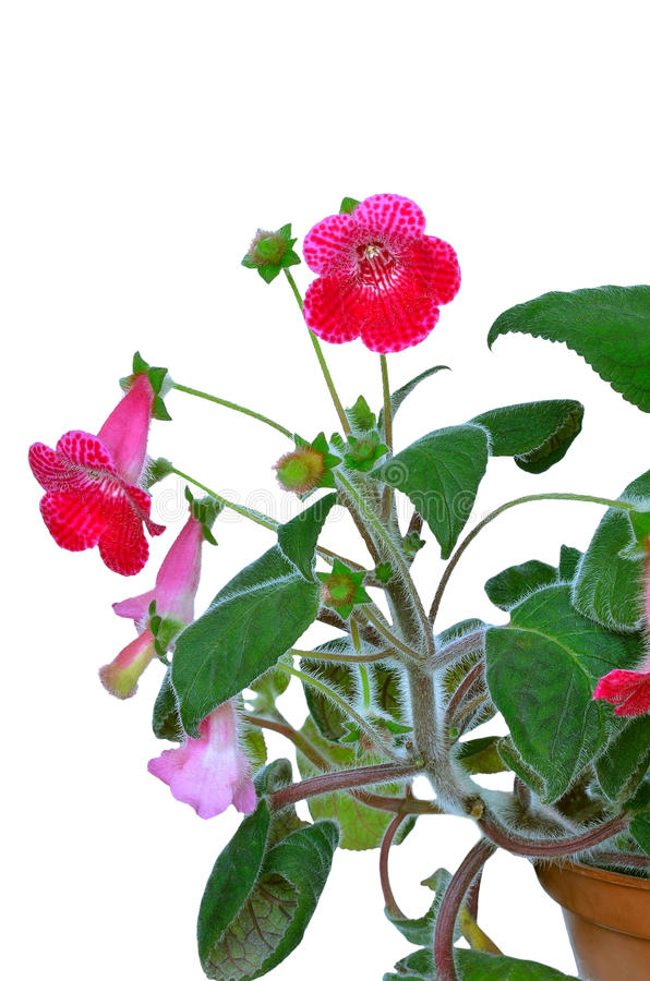 Kohleria flower stock photos