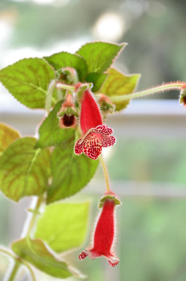 Kohleria Rebecka royalty free stock photos