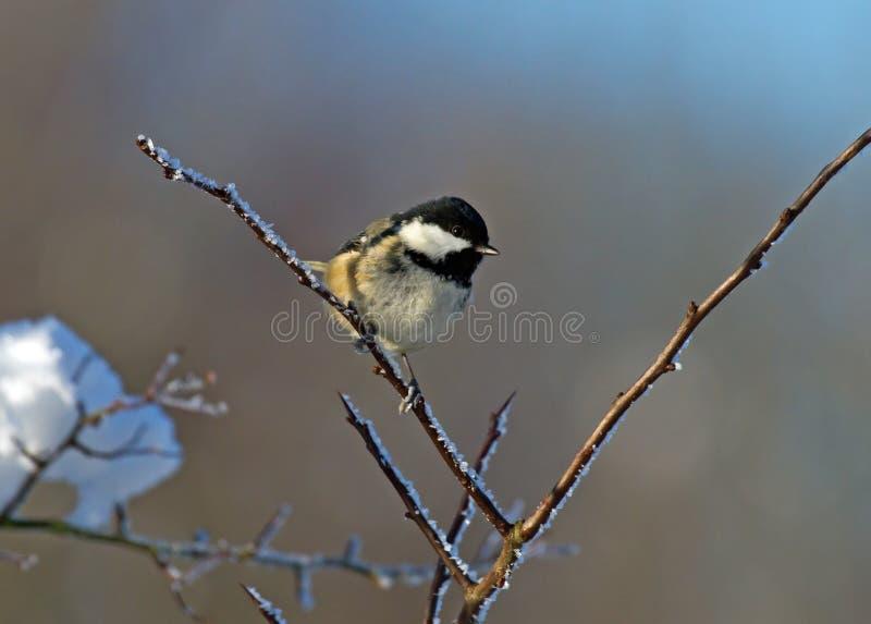 KohleTit auf Winter-Zweig lizenzfreie stockbilder