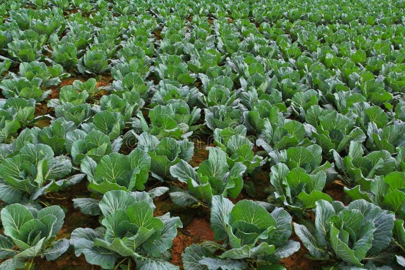 Download Kohlgarten. stockfoto. Bild von cultivate, grün, siamesisch - 26354718