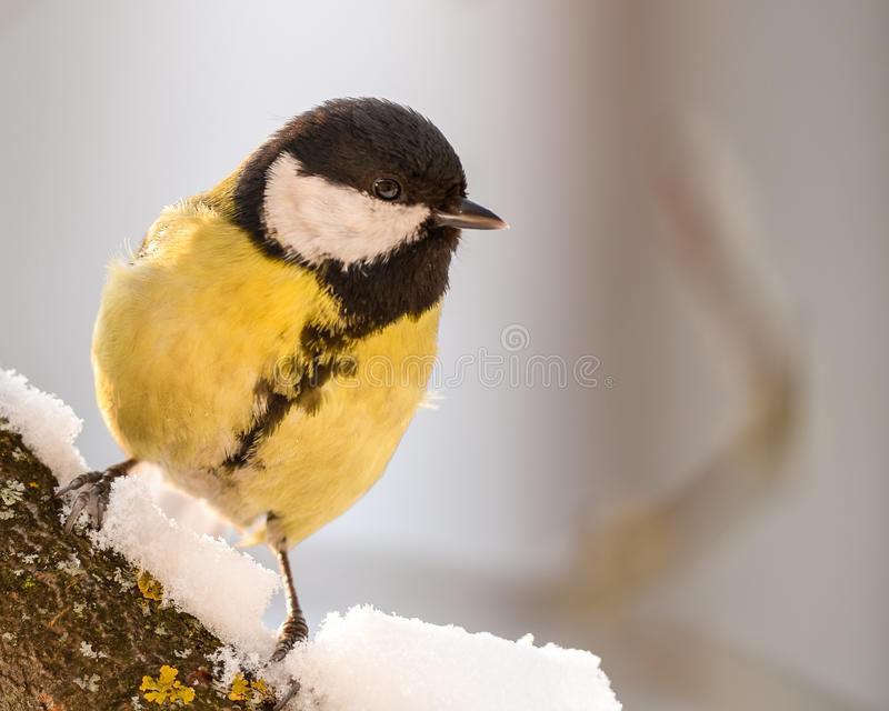 Kohlmeise auf einer schneebedeckten Niederlassung lizenzfreie stockbilder