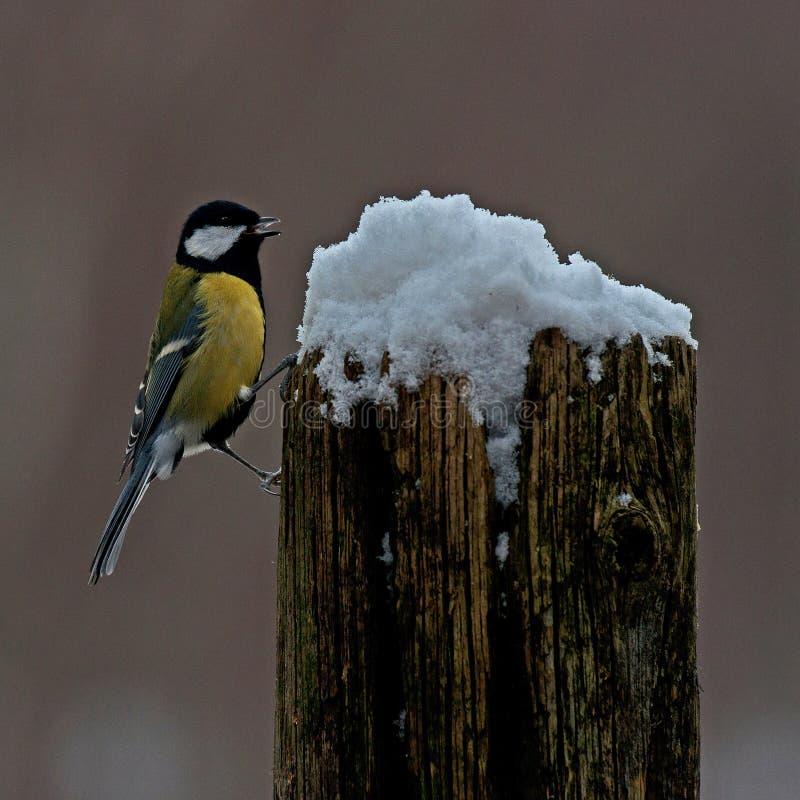 Kohlmeise Parusmajor auf einem schneebedeckten Stumpf stockbild