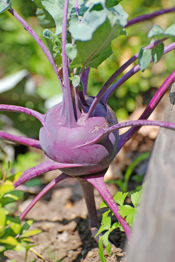 Download Kohlrabi stock image. Image of garden, cultivated, gardening - 3641611