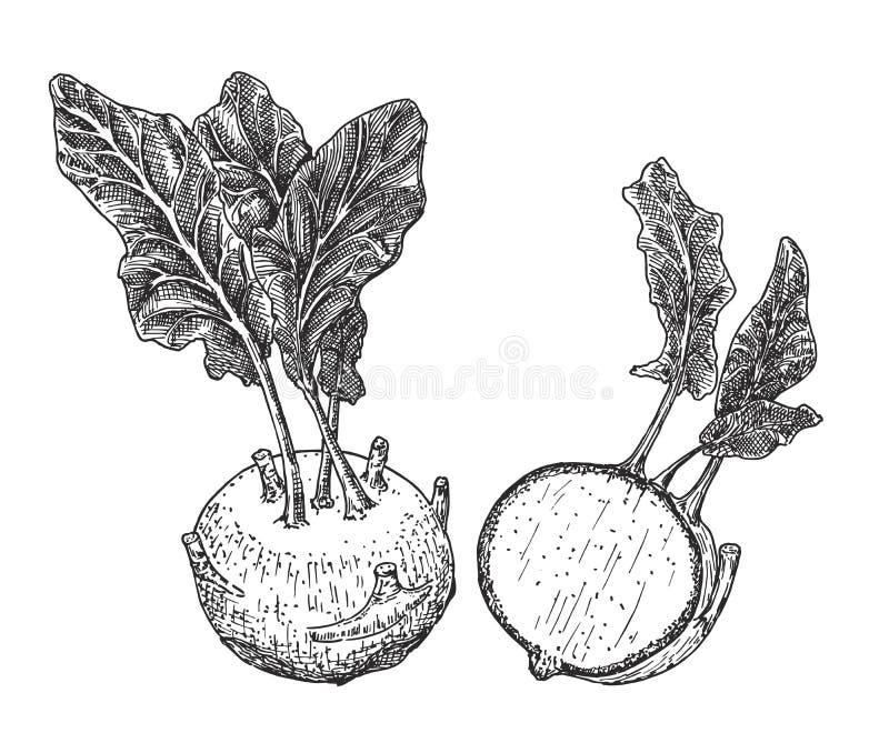 Kohlrabi cabbage turnip. Vector Kohlrabi sketch set royalty free illustration