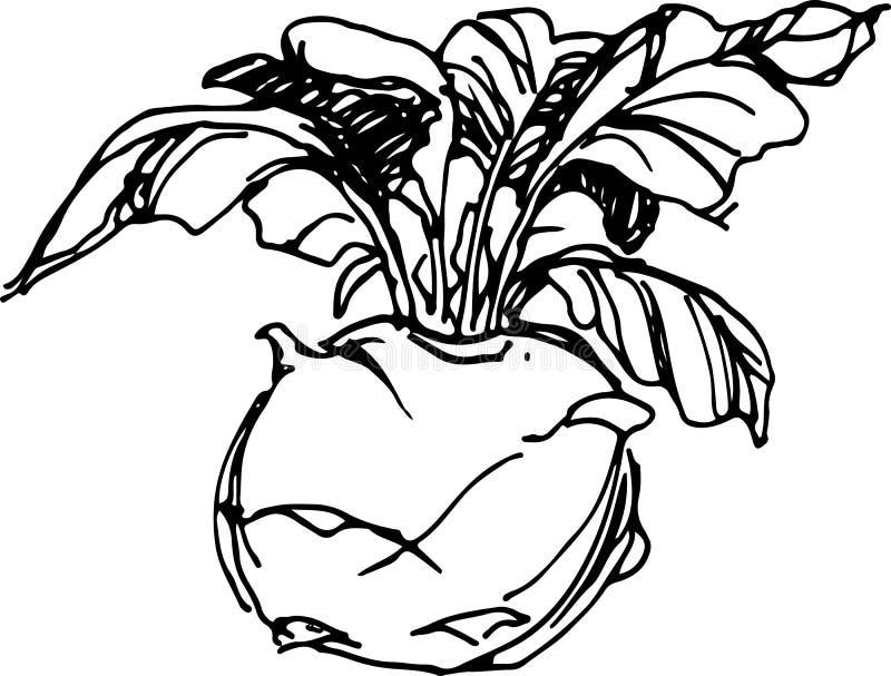 kohlrabi Ilustración del vector libre illustration