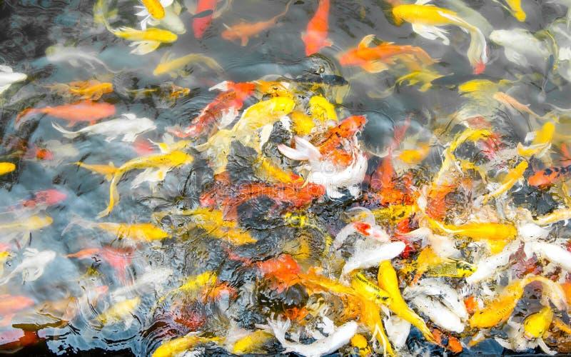 Koi鱼人群在池塘,五颜六色的自然本底, Koi是sym 免版税图库摄影