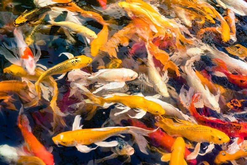 Koi鱼人群在池塘,五颜六色的自然本底, Koi是sym 免版税库存照片