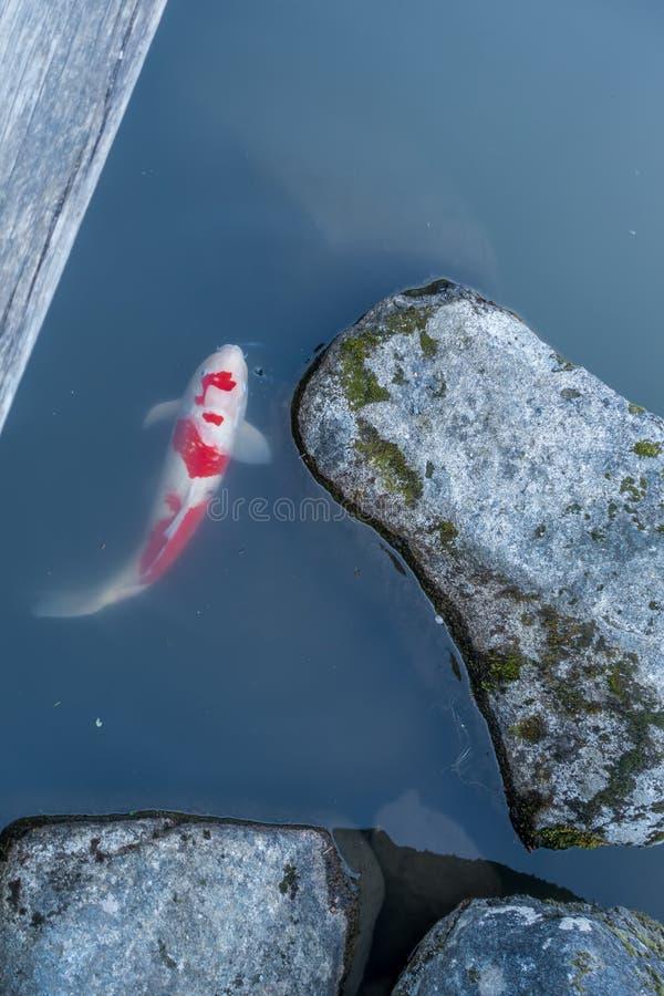 Koi鱼和岩石 库存照片