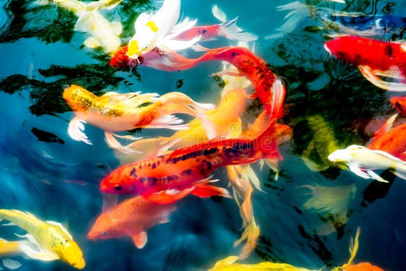 Koi鱼在池塘,五颜六色的自然本底 库存照片