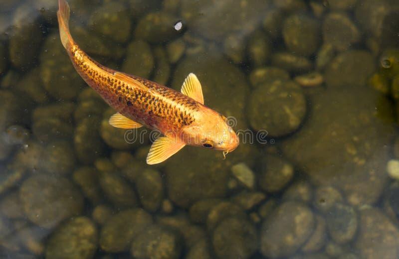 Koi鱼在池塘 免版税图库摄影