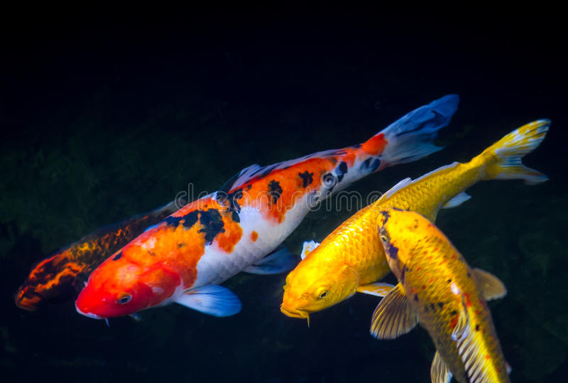 Koi鱼在池塘 库存照片