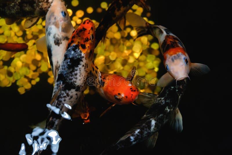 Koi鲤鱼,日本大鱼,在水面下在庭院里 库存图片