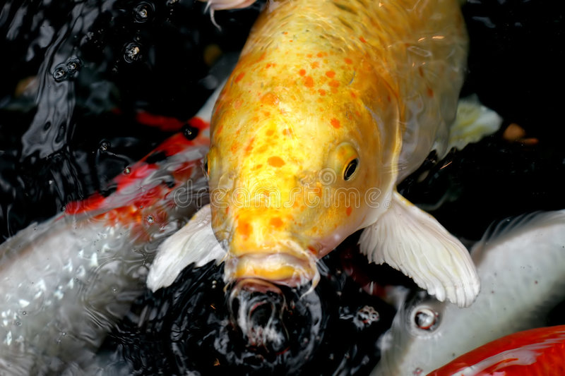 Download Koi #1 photo stock. Image du regroupement, rouge, carpe - 729208