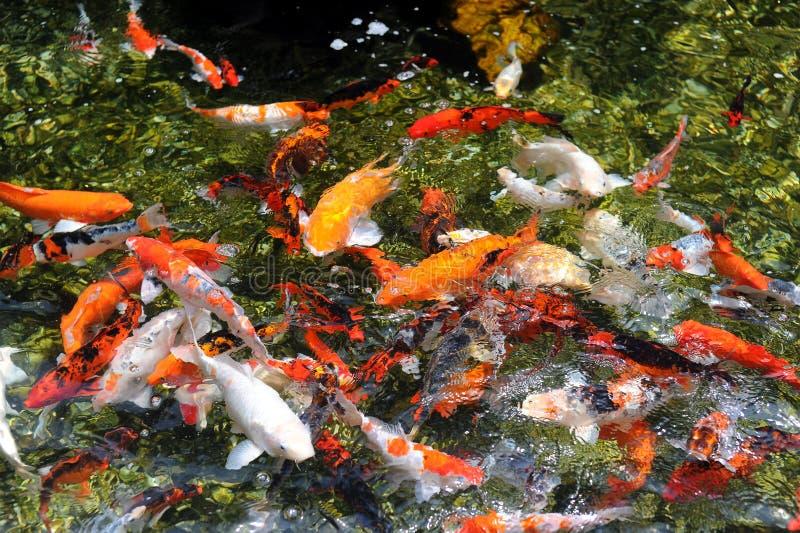 Download Koi immagine editoriale. Immagine di acqua, vita, giardino - 30829505