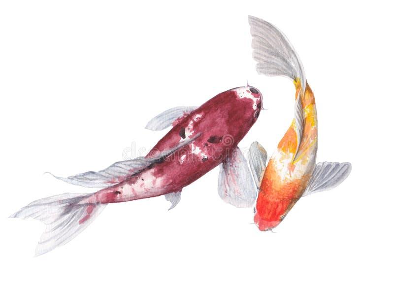Koi carb som isoleras på vit bakgrund Målad vattenfärgillustration för fisk hand stock illustrationer