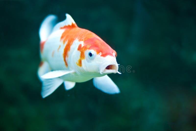 Koi Carp. In an aquarium