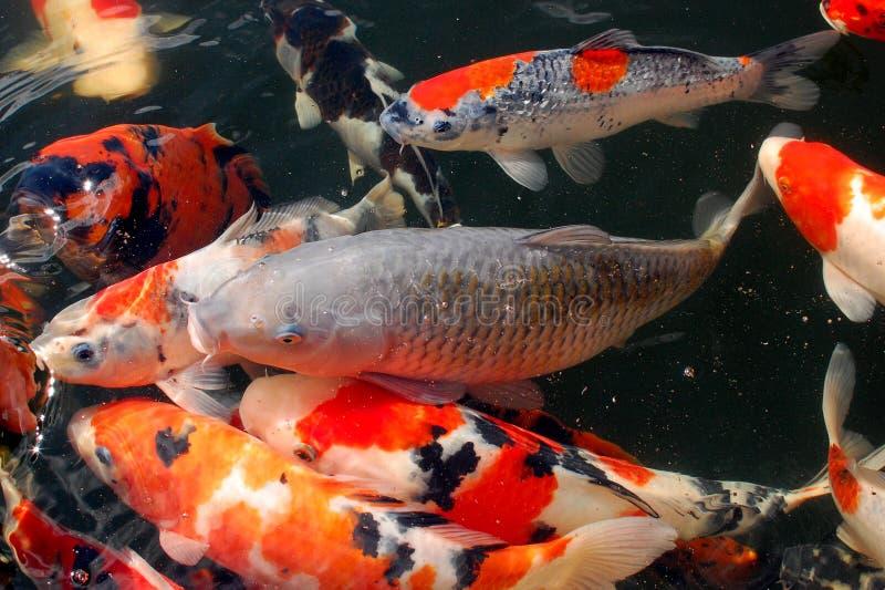Koi carp royalty free stock photos