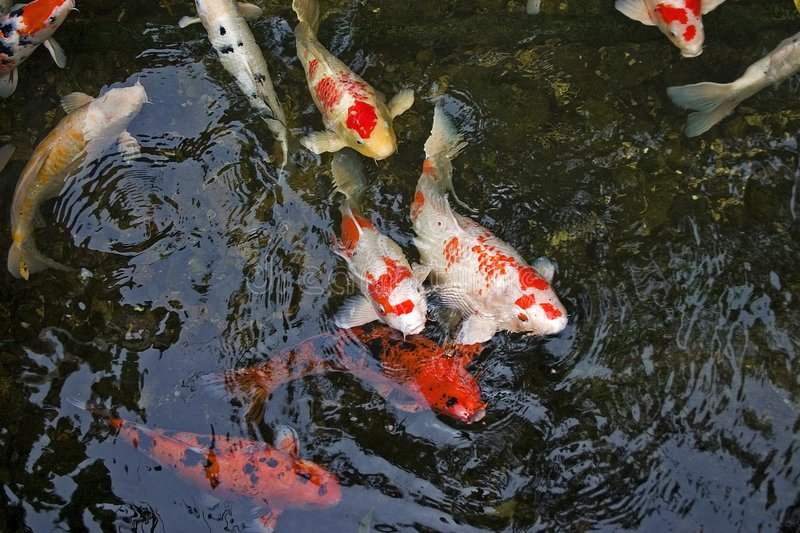 Koi carp stock image image of asian dorsal asia pool for Carpe koi b