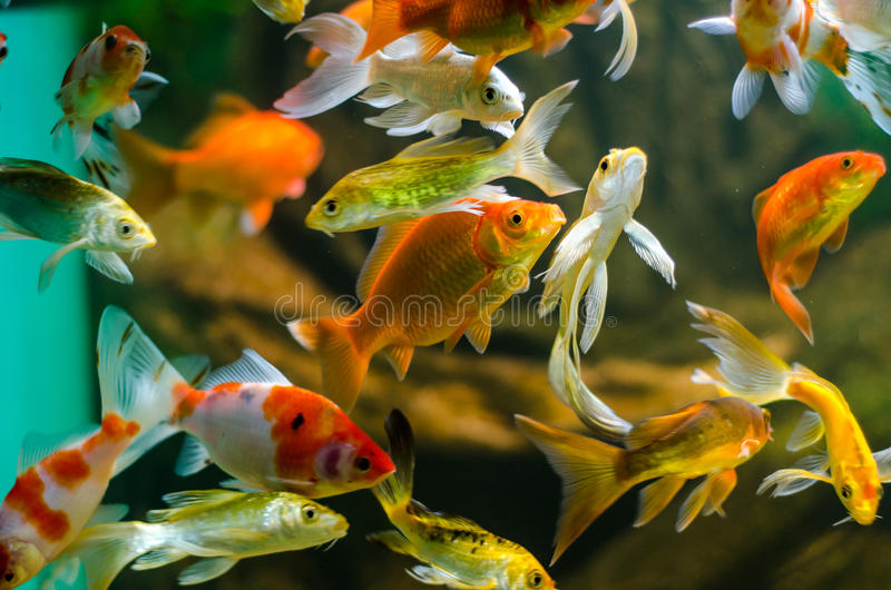 Koi and carp in aquarium. An aquarium full of colorful koi, goldfish and carp fish royalty free stock photography